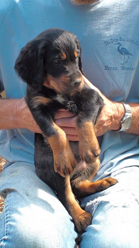 Gordon Setter Crossing: Gordon Setter Puppies 6 wks. 5 ...