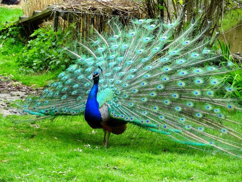 Foto Burung Merak Jantan