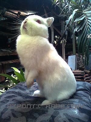 netherland dwarf kelinci