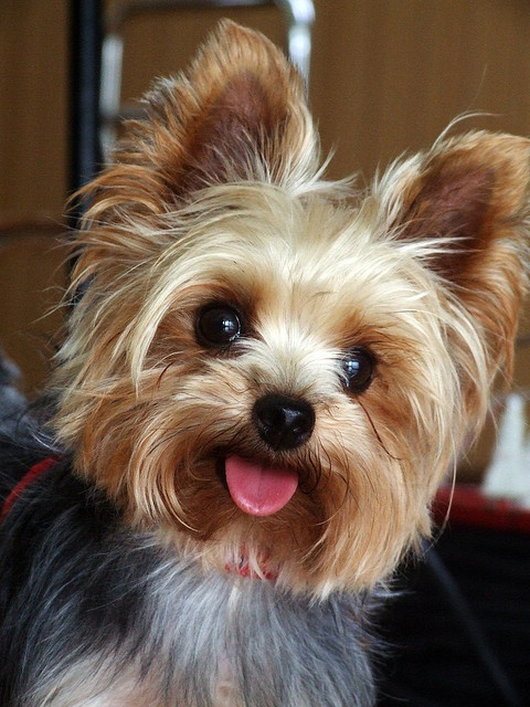 Interesting Facts About Yorkshire Terrier Annie Many