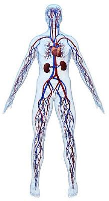 dolaşım sistemi, kardiyovasküler sistem