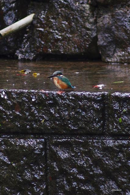 雞南山的稀客翠鳥