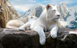 Mountains White Lions Snow HD Wallpaper