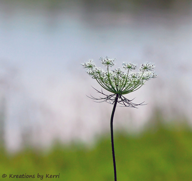 Queen Anne's Lace ~ Wildflower Elegance