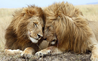 Lions Love Animals HD Wallpaper