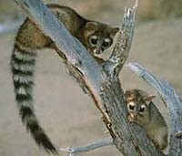 Wild West History Ring Tailed Cats Or Miner S Cats Pest