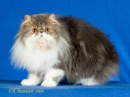 Kucing Persian Di Kuantan Pahang Malaysia Jenis Jenis