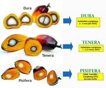 Anatomi Kelapa Sawit