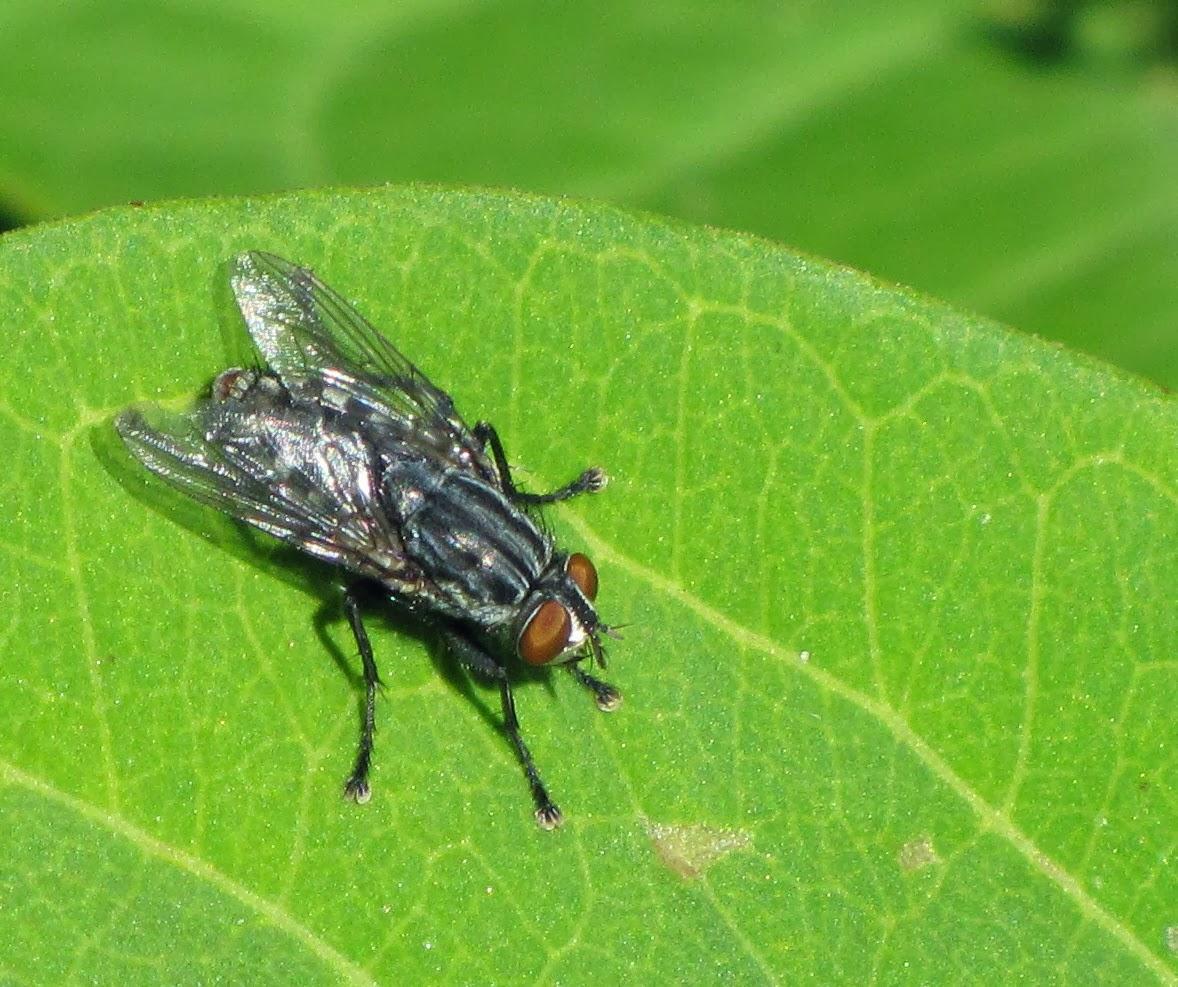 Flies In My House