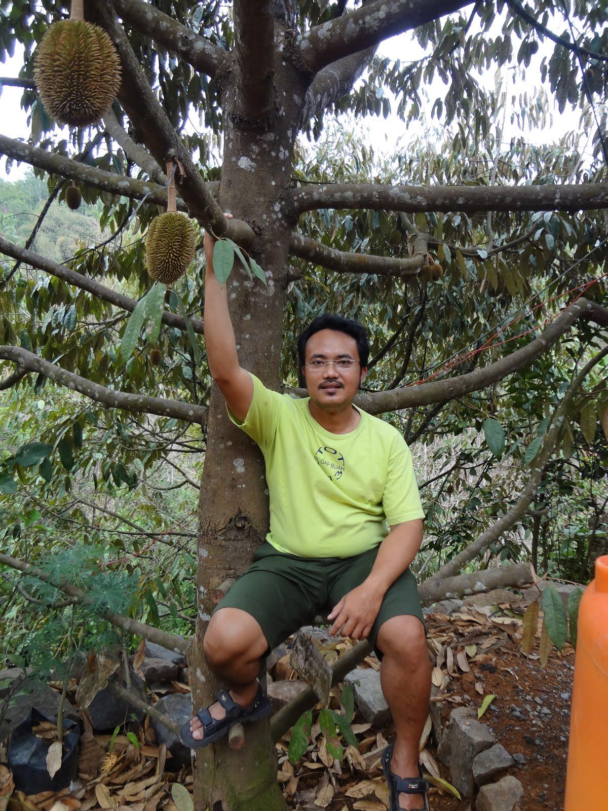 Durian Menoreh Kuning Koleksi M-SEED