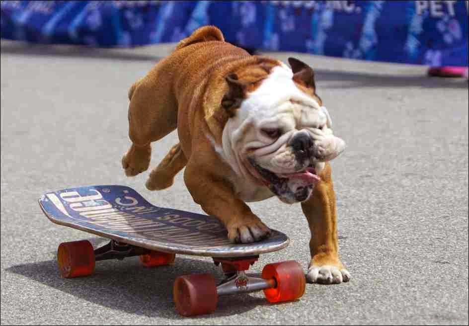 Skate-boarding Bulldog - Tillman
