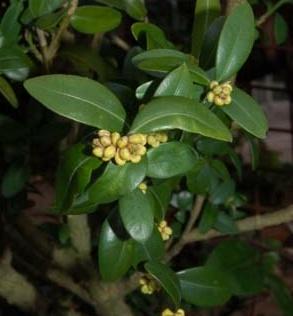 Piante e fiori bosso buxus un sempreverde dai molti usi for Bosso vaso