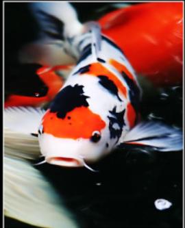 Corak warna koi digemari di asia