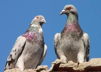 Habilidades de las palomas