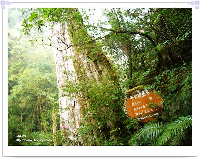 北橫拉拉山-十六號巨木