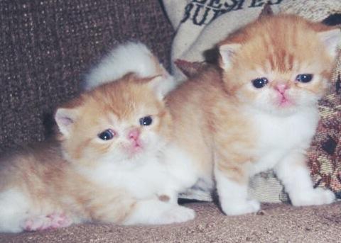exotic short hair kittens, cute kittens