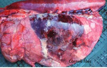 Hình 2: Apxe phổi trên heo bị bệnh