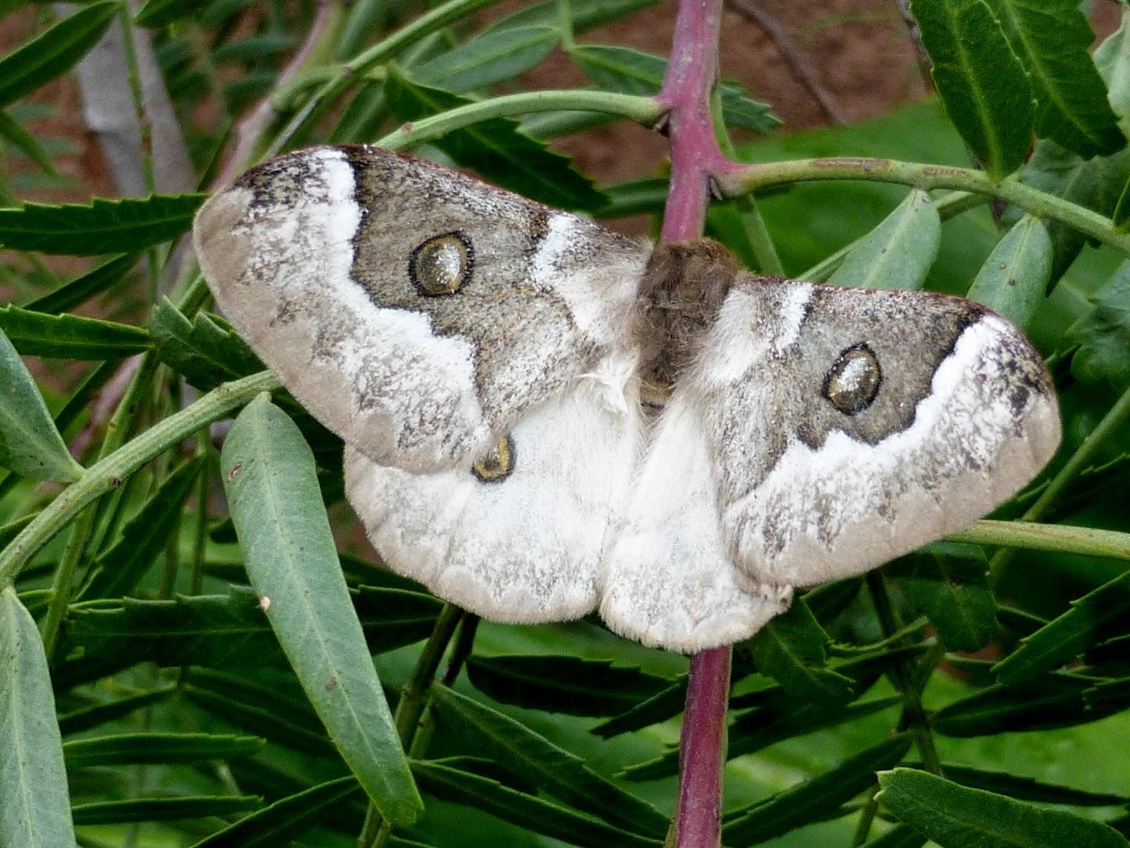 Usta angulata female