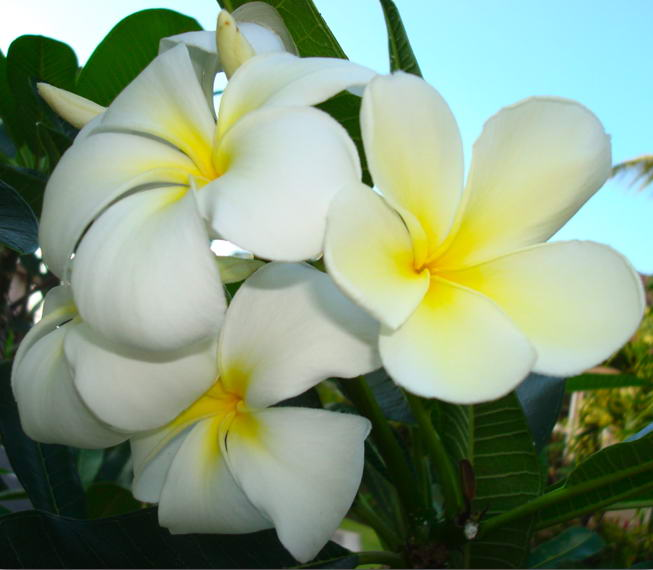 Flower Picture: Plumeria Flower Picture