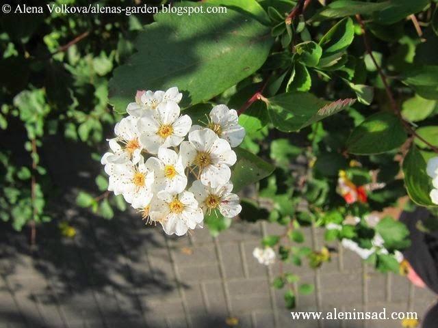 цветы, осенью, весенние цветы, спирея осенью, цветы спиреи, Spiraea
