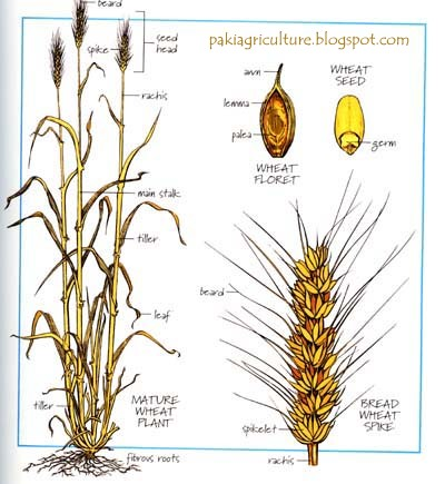 Intro to wheat triticum aestivum l genetics and production plant height ccuart Image collections