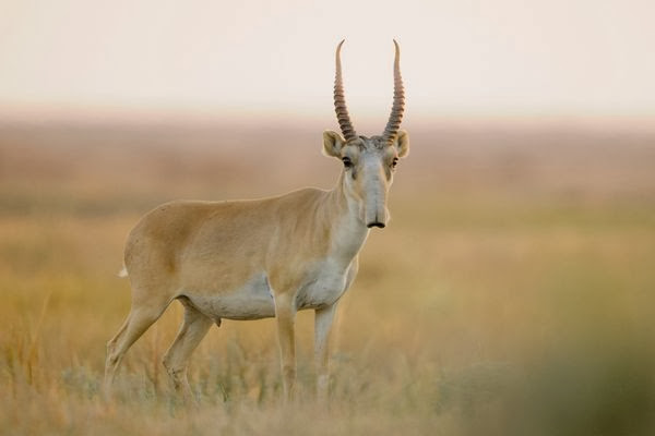 Oddest-looking-Antelope-Male-Saiga-National-Geographic-Wild-Animals-Rare-Saiga-Unique-Antelope-pics