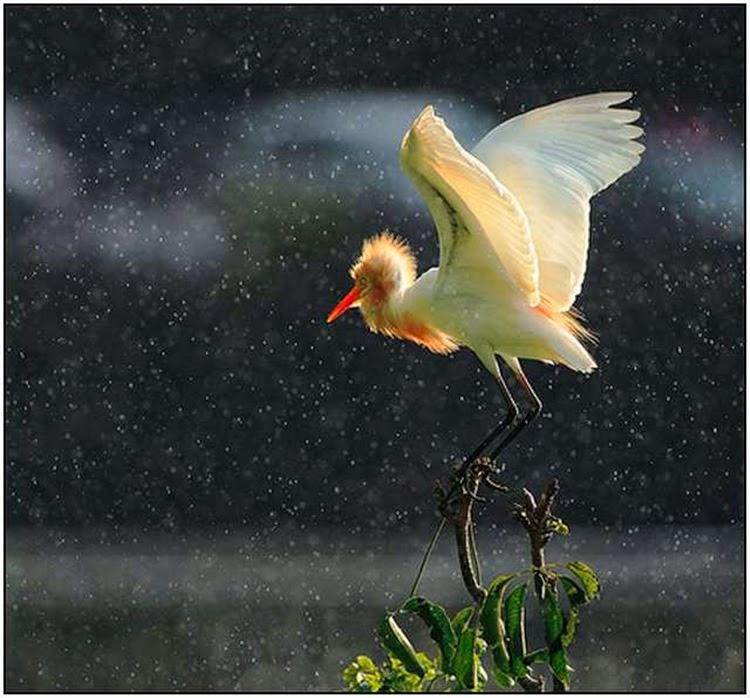 Crane in Monsoon