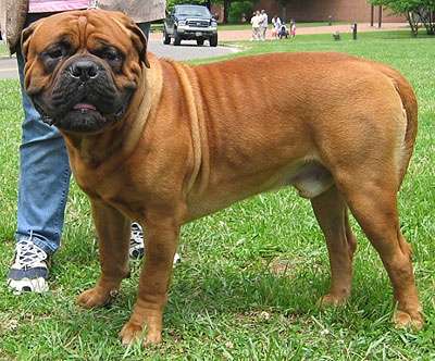 Bullmastiff Pictures and Reviews | Dog breeds and Puppies Pictures