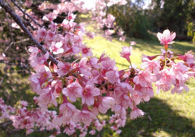 sakura; flor de cerejeira; jardim japones