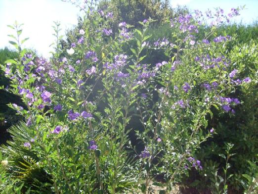 Ma plan te jardin solanum rantonnetti un arbuste la floraison bleu gentiane unique - Taille du pecher au printemps ...