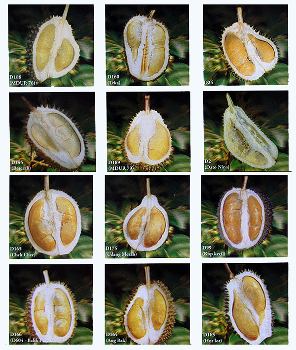 Durian Info Durian Seasons In Durian Production Areas