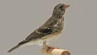 Cara Perawatan Burung Sanger Supaya Cepat Bunyi