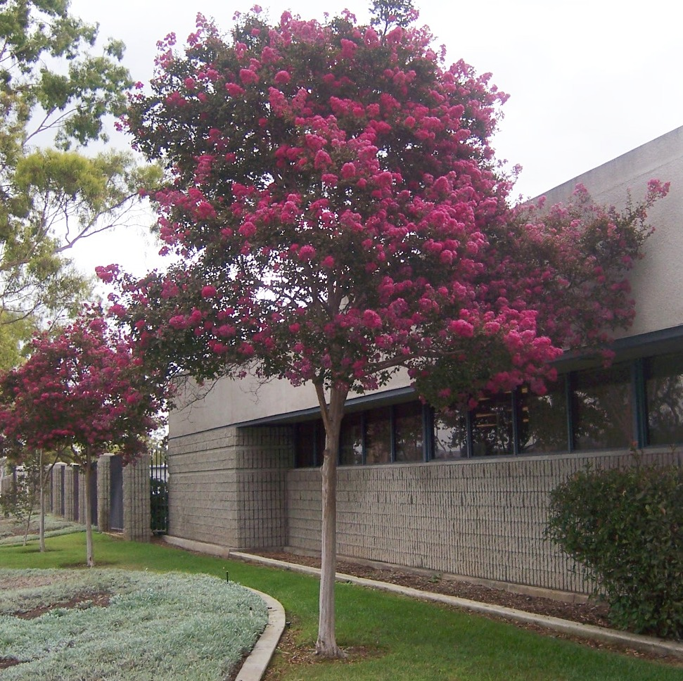 Highlands Ranch Xeriscape: The 2 Minute Gardener: 5 Fantastic Small Trees For San Diego