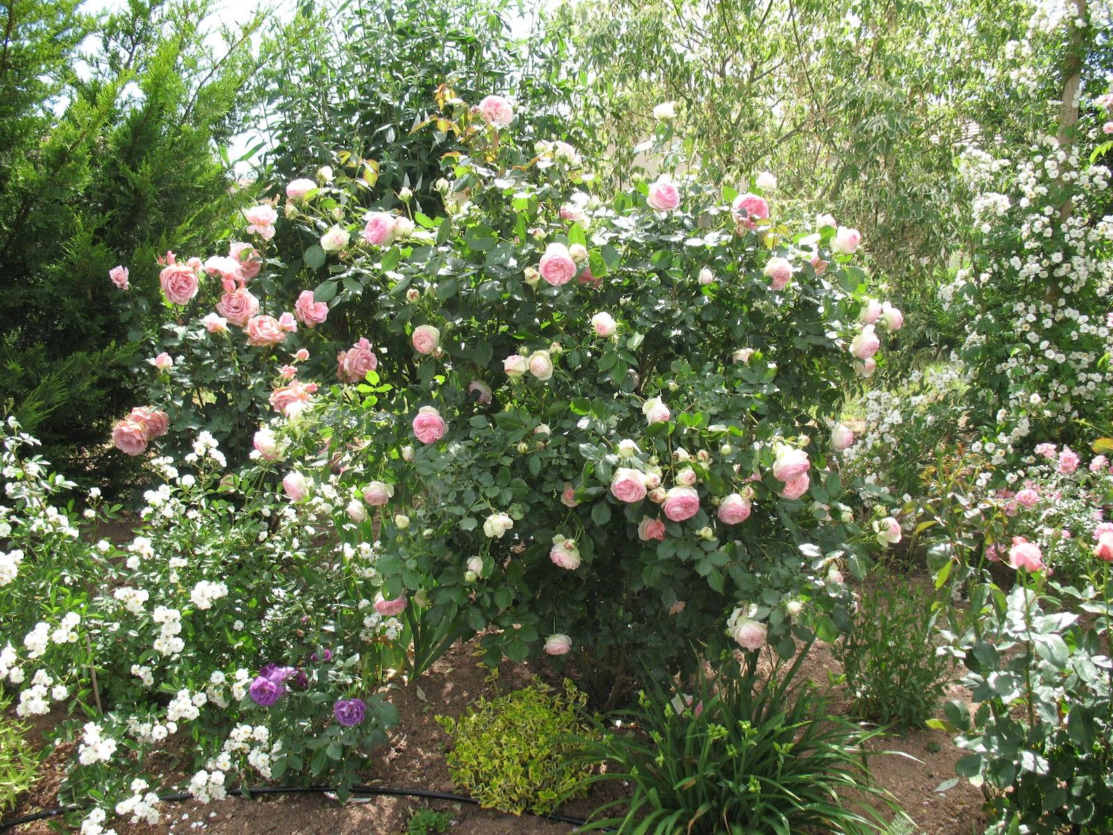 roses du jardin ch neland rosier pierre de ronsard. Black Bedroom Furniture Sets. Home Design Ideas