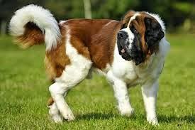 la cola y la cara del perro san bernardo