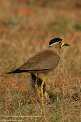 yellow wattled lapwing with chick