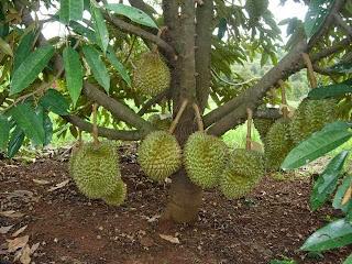 jual bibit pohon durian berbuah