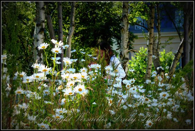 Marguerites Jardin Etangs Gobert Versailles