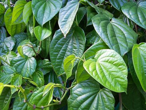Menghilangkan Keputihan Secara Alami dengan daun sirih