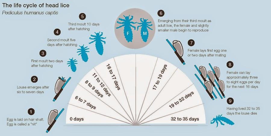 head lice life