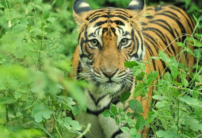 Tiger Of Ranthambore National Park