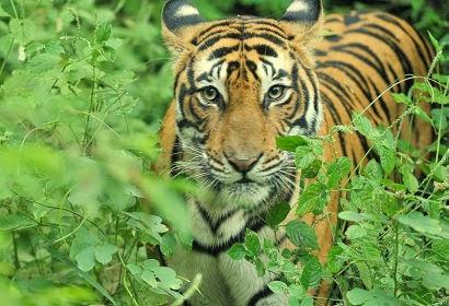 Tiger Of Ranthambore National Park