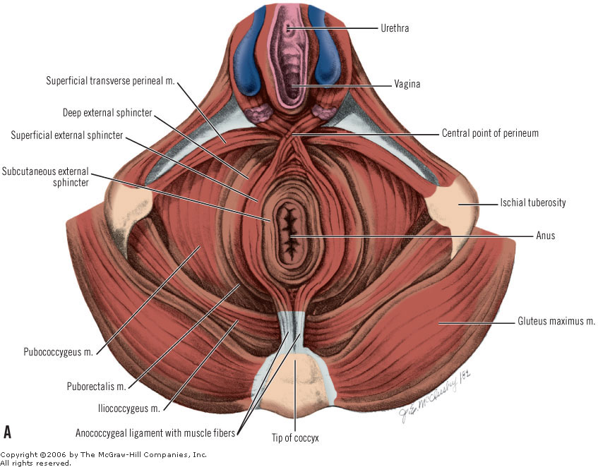 pelvic and perineal anatomy questions for christmas