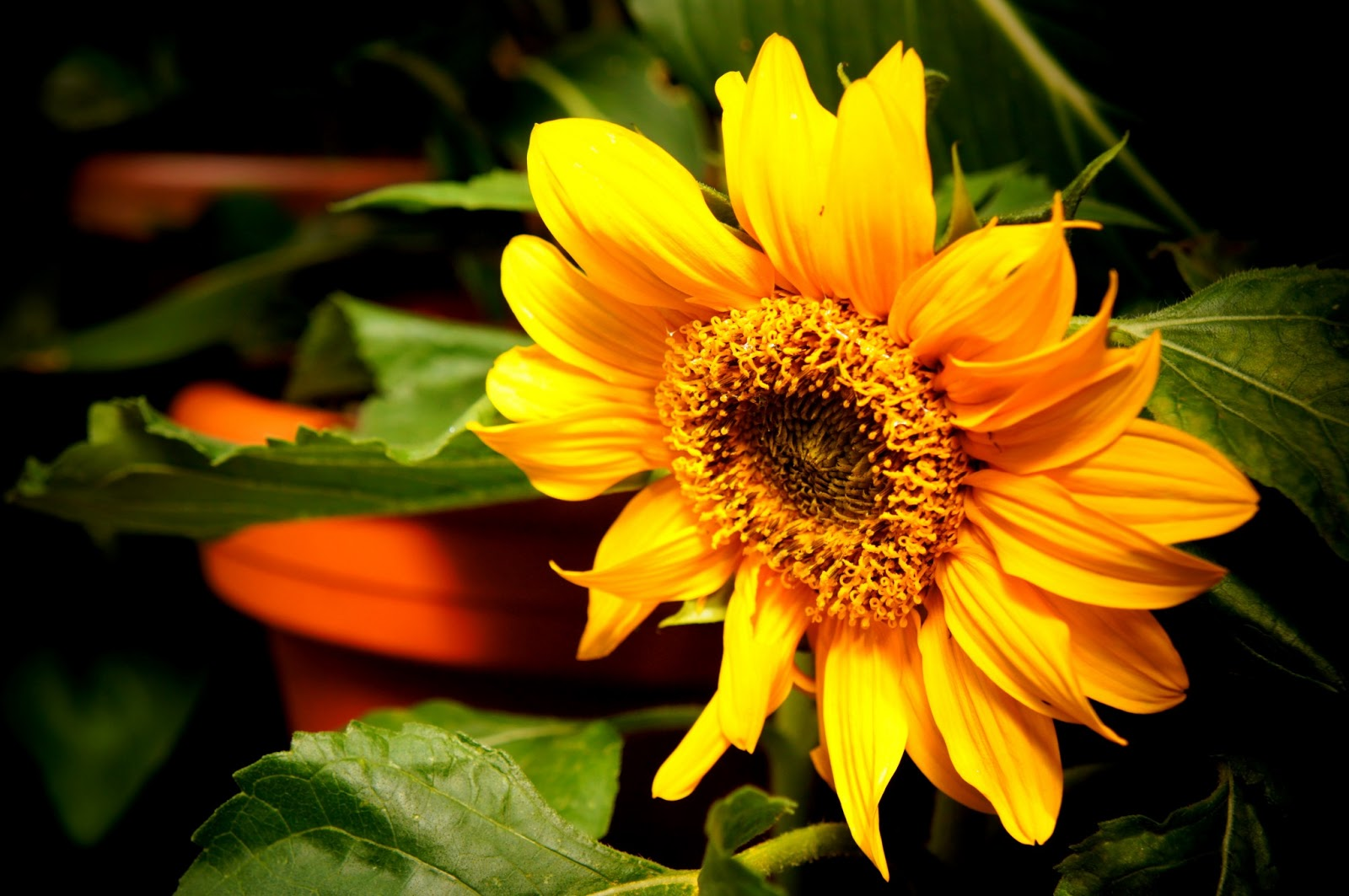sun flower free photo