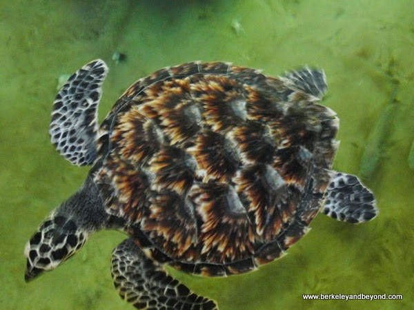 Hawk's Bill sea turtle at Kula Eco Park in Fiji