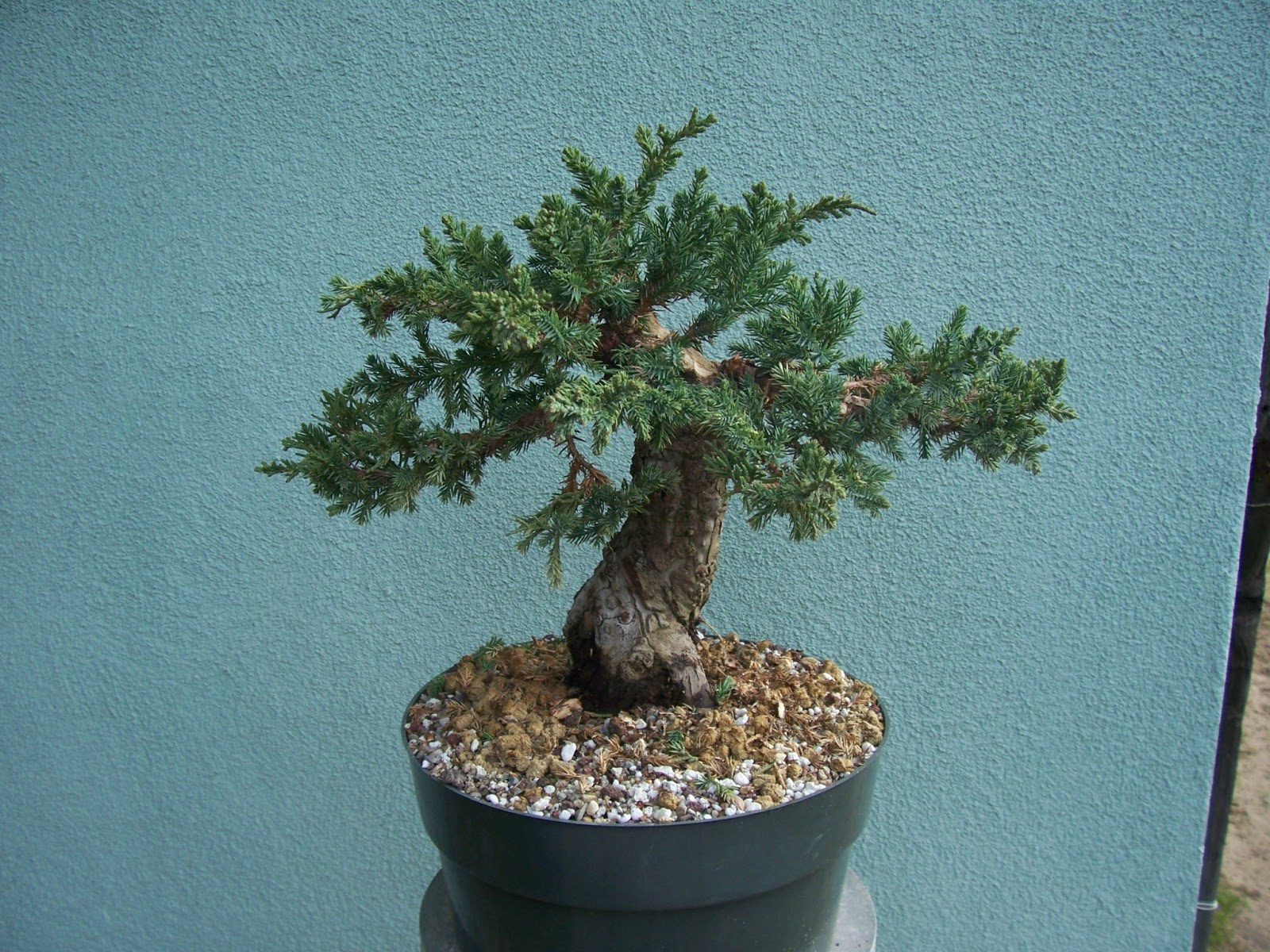 What39s Happening At Muranaka Bonsai Nursery January 2013