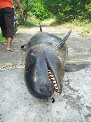 Black whale or sperm whale beached on Maret, Koh Samui