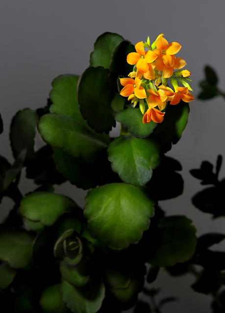 Kalanchoe Flowers. Nikon D90 w/ AF-S MICRO Nikkor 105mm 1:2.8G ED Photo-edited using Paintshop Pro X4 Ultimate.