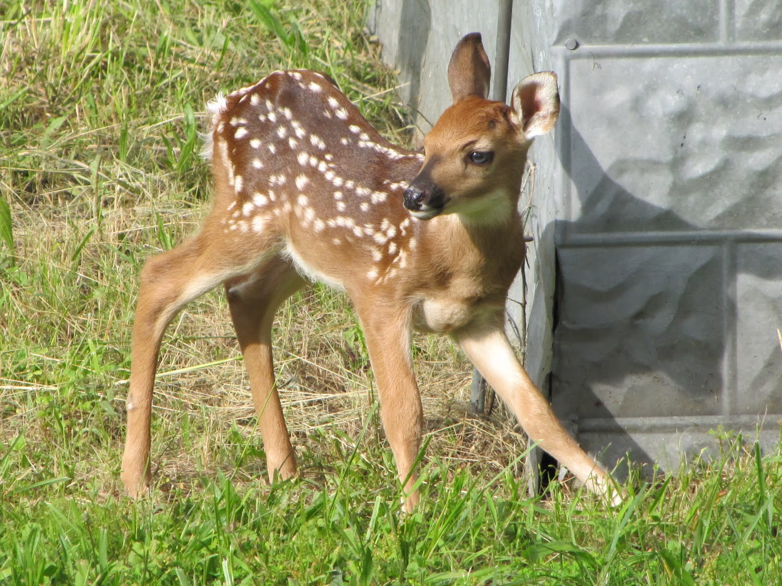 Black Baby Deer