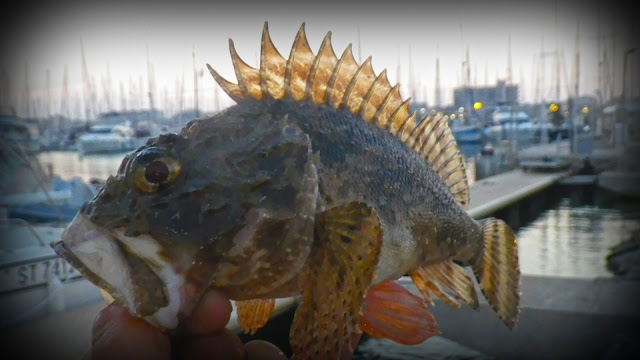 Rockfishing belle rascasse